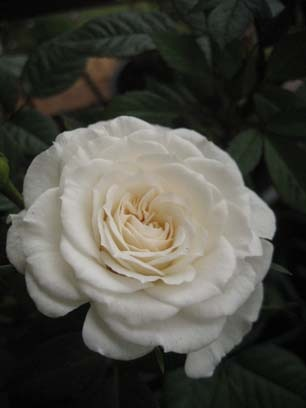 Open cream rose