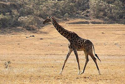 Jirafa en el parque Hell's Gate (Kenia)