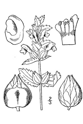 Cockscomb rhinanthus