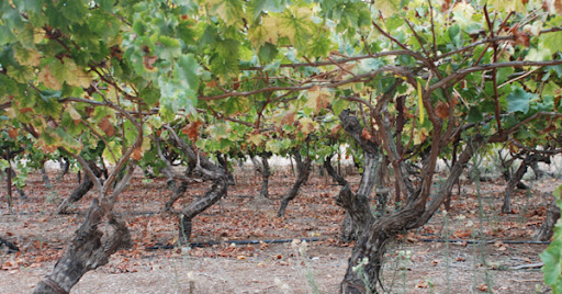 grape vines, autumn