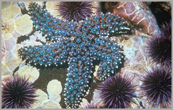 Starfish-4