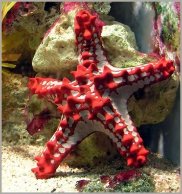 Starfish-3