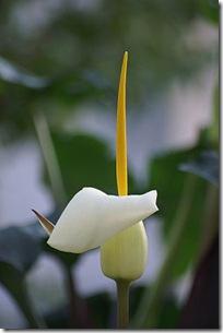 L'Arum blanche