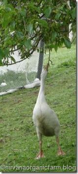 greedy gosling