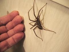 house spider 2