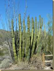 2011-04-21 -3- AZ, Organ Pipe Cactus National Monument (36)