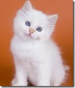 white-kitten