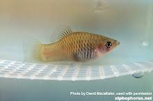http://lh4.ggpht.com/_Igm0R8VN7FM/TM6UDxdmLLI/AAAAAAAABPw/Ozh49Oaagow/s220/xiphophorus%20maculatus.jpg