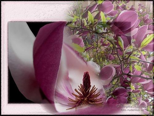 pm_20110424_magnolia