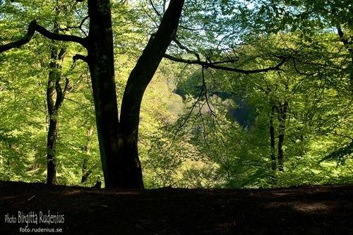 natur_20110508_bokskog1