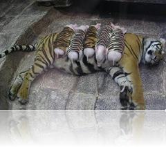 Tigresa e porquinhos (3)
