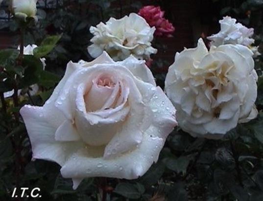 rosasblancas3_debrujaMar