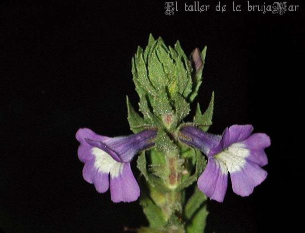 flores-desde-arrfloreslilas030_debrujaMar