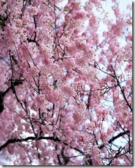 Branches Filled with Cherry Blossoms Tokyo, Japan