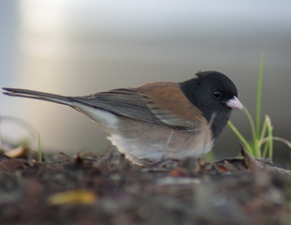 DarkEyedJunco_01