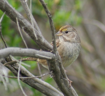 Juvenile_GoldenCrownSparrow_Blog