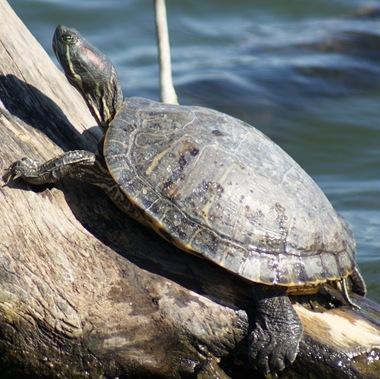 TurtleOnaLog_01
