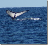 WhaleWatching_Cabo02