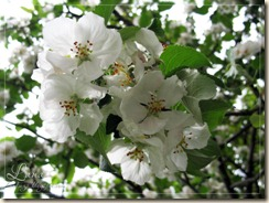 яблоня2