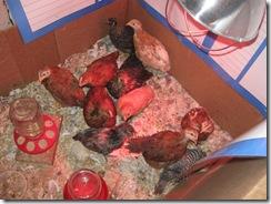chicks 4 weeks 01