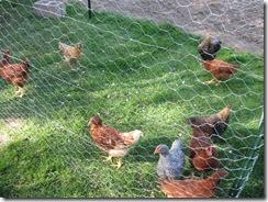 chicken treats 03