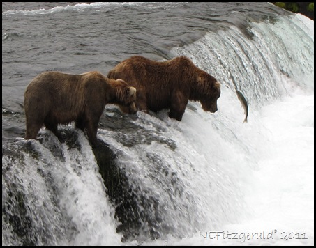 IMG_2730Grizzly BearsFishing BrooksFalls KatmaiNP