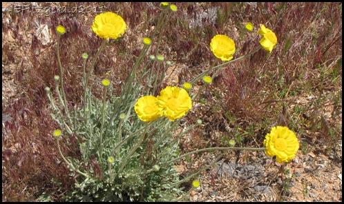 DesertMarigold(a)