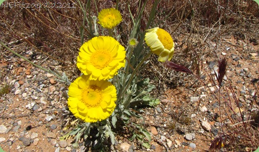 DesertMarigold(b)