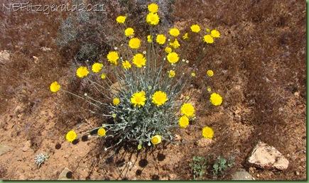(b)Desert Marigold