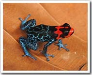 Poison dartfrog