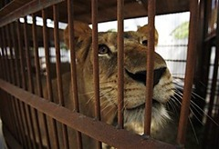 Rescued Lioness