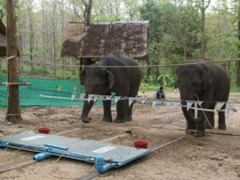 elephants_cooperating