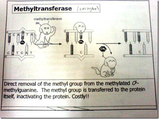 Doggie Methyltransferase