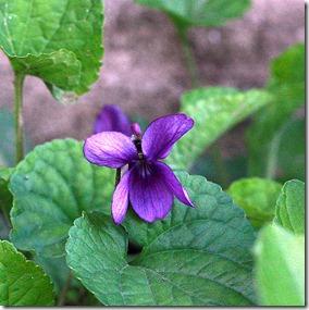 violette-4