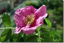sciarpa seta rosa  -7