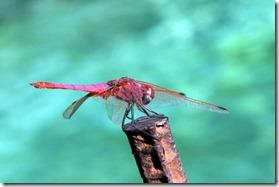 libellula turchese-4