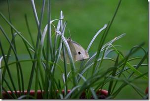 Allevamento farfalle-16