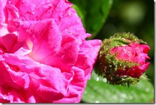 Confettura di rose-3