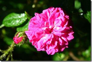 Confettura di rose-5