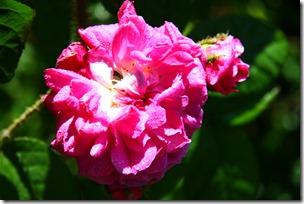 Confettura di rose-4