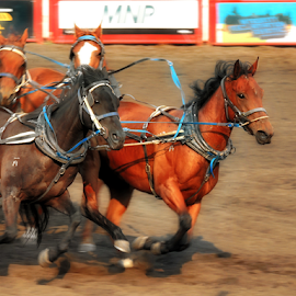 in the lead by Darlene Wuenschel - Animals Horses ( rodeo )