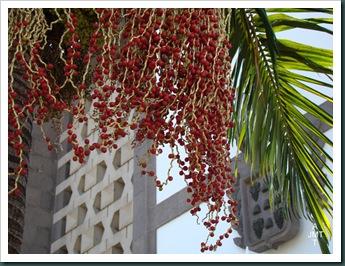 DSC03294-archontophoenix-cunninghamianan (palmier elegant) F arecaceae BW