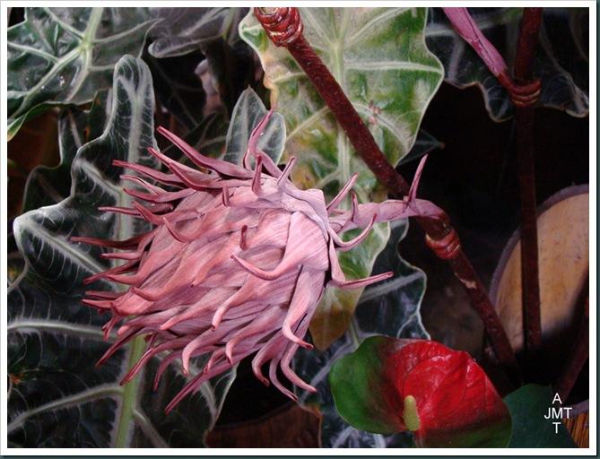 DSC03281-Funchal-proteaceae cynaroideBW