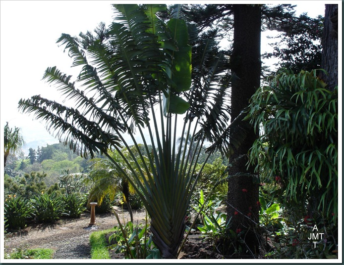 DSC05273W1-ravenala-madagascariensis musaceae (arbre du voyageur) F strelitziaceae BW