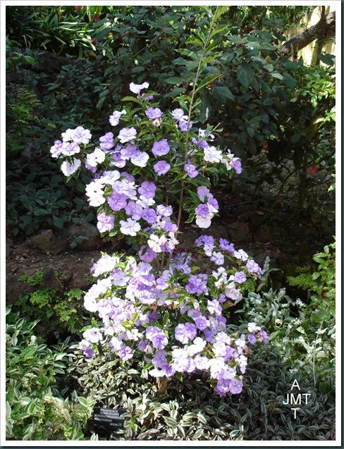 DSC05278W1-brunfelsia-pauciflora manaca brunfelsia F solanaceae BW