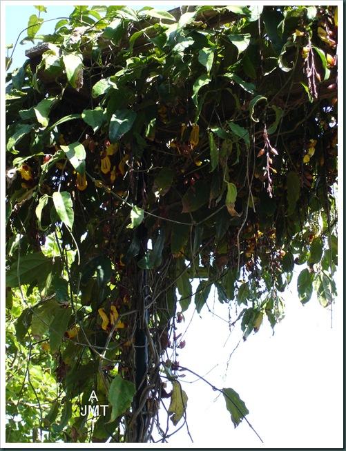DSC05287W1-thunbergia-mysorensis (liane de mysore) F acanthaceae BW