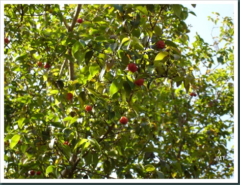 DSC05295W1-eugenia-uniflora (pitanga, cerise de cayenne) F myrtaceae BW