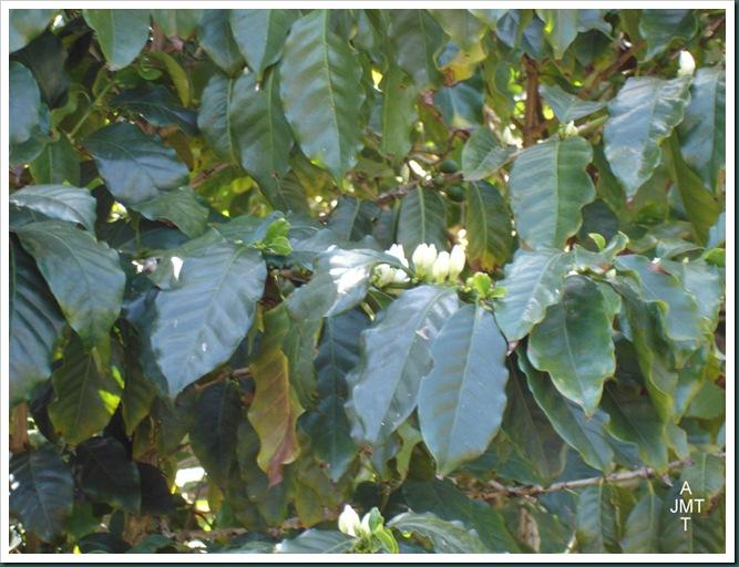 DSC05294W1-coffea-(cafeier) F rubiaceae BW