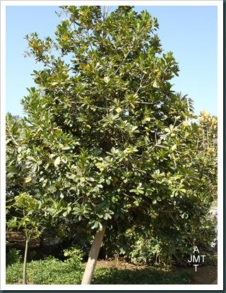 DSC05301W1-manilkara-zapota ou achras sapota (sapotillier) F sapotaceae BW