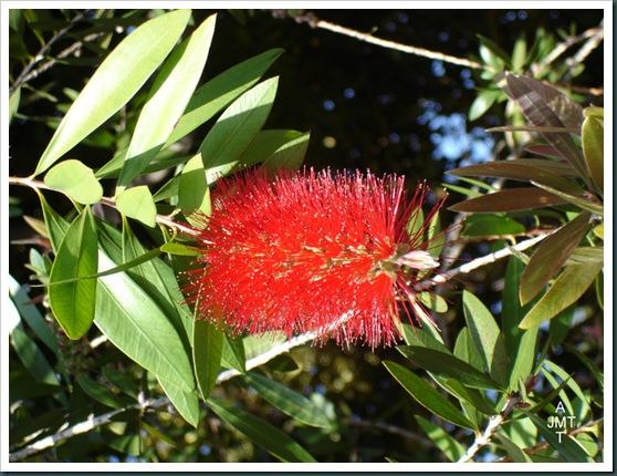 DSC05309W1-callistemon-citrinus (goupillon, rince bouteille) F myrtaceae BW